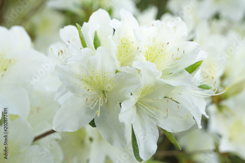 Plexiglas Azalea azalee