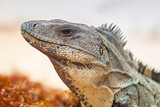 Close up of wild iguana in Mexico - 202887813