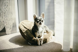 Chihuahuas are faced down on the throw pillows