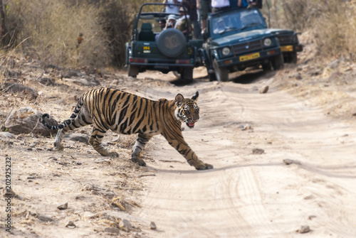 A tigress walking across safari track inside bandhavgarh tiger reserve during hot summer day