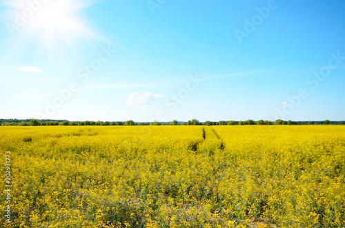 Fotobehang Oranje Bright yellow canola field under blue sky summer day