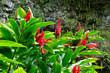 カウアイ島シダの洞窟前に生えるジンジャーの花