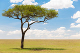 nature, landscape and african wildlife concept - acacia tree in maasai mara national reserve savannah in africa - 202935647