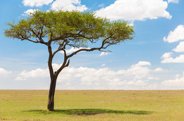 nature, landscape and african wildlife concept - acacia tree in maasai mara national reserve savannah in africa