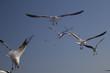 Laridae - seagulls on beaches of Peru