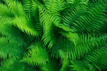 Beautyful ferns leaves. Tropical Fern Bushes