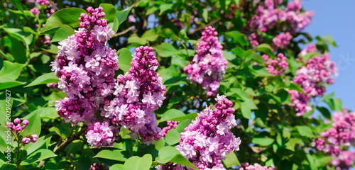 Purple lilac flowers spring blossom background. Wide photo. - 202964827