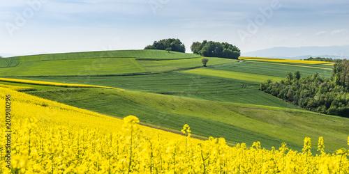 Fotobehang Oranje Panorama Rapsfeld mit grünen Hügeln