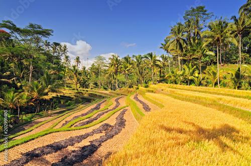 Plexiglas Rijstvelden Terrace rice fields, Bali, Indonesia.