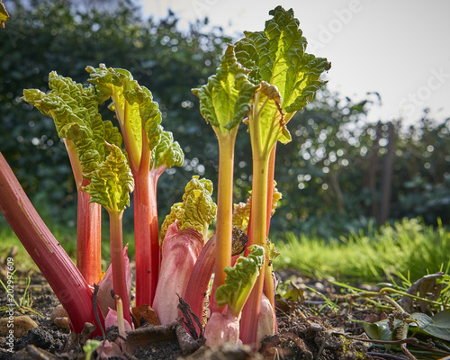 Foto Murales New rhubarb shoots sprouting in a garden in spring