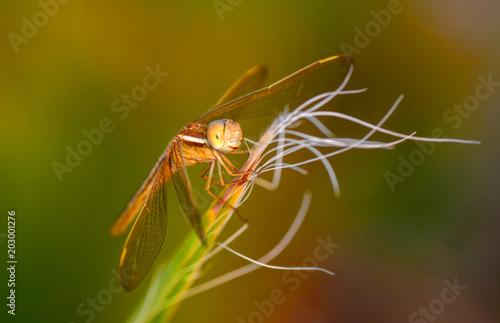 Fototapeta Dragonfly