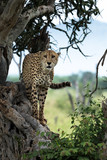Cheetah standing on a tree looking out