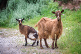 Curious goat and her kid on a trekking path in Crete, Greece - 203058087