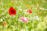 Close up of poppies and wild flowers in a field - 203058620