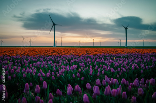 Fotobehang Tulpen colorful tulip field with windmills