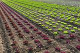 Salatfeld - 203071610