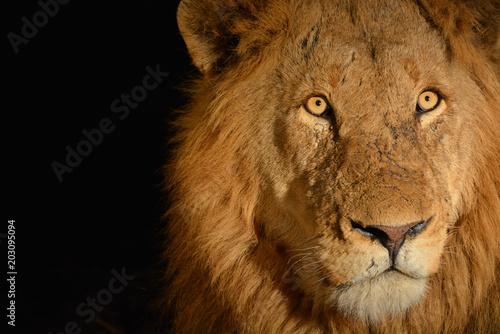Fotobehang Lion Lion @ night