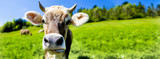 Kuh mit Hörnern