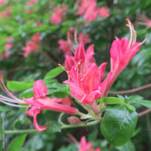 Plexiglas Azalea Flowers of the red garden azalea