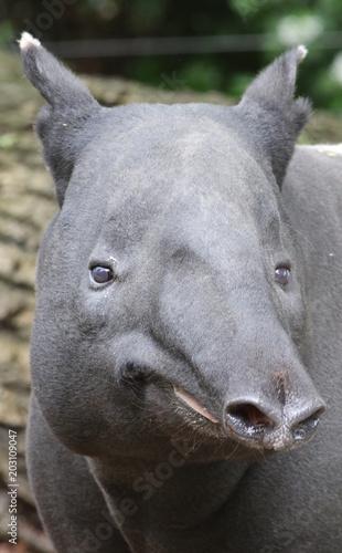 Fotobehang Neushoorn Portrait de Tapir