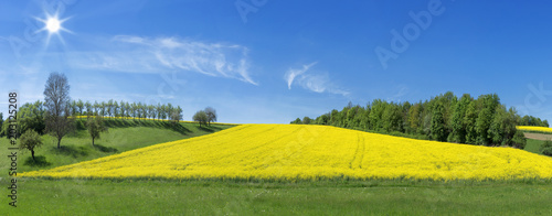 Fototapeta Blühendes Rapsfeld umgeben von Wiesen und Baumreihen im Sonnenschein