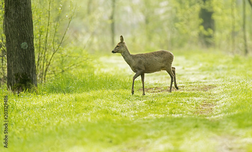 Canvas Natuur European roe deer standing on forest path.