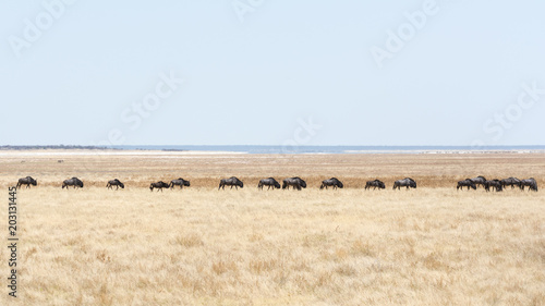 Fotobehang Wit Wildebeest from Namibia