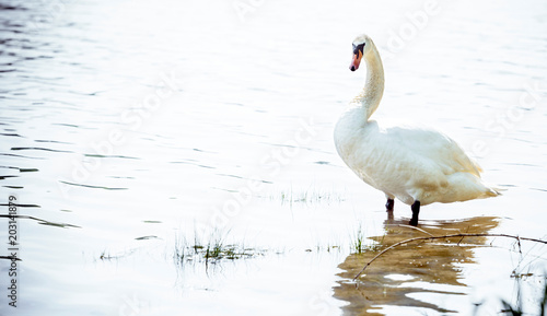 Fotobehang Zwaan Big white swan standing in the lake,blank space and selective focus