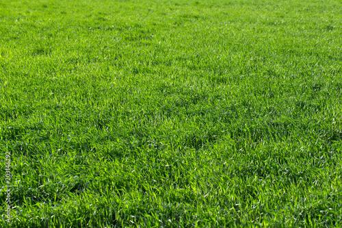 Fototapeta Green grass texture from a field