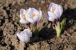 Group of white-purple spring or giant crocuses (Crocus vernus) on flower bed