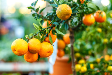 decorative tangerine tree, ripe tangerines on a branch