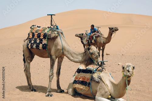 Aluminium Kameel Dromadaires dans le désert marocain, Sud marocain, Maroc