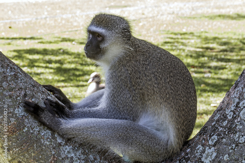 Plexiglas Aap Single Alert Vervet Monkey Sitting on Branch of Tree