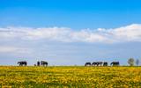 Pferde auf einer Weide, artgerechte Haltung in der Landwirtschaft - 203192844