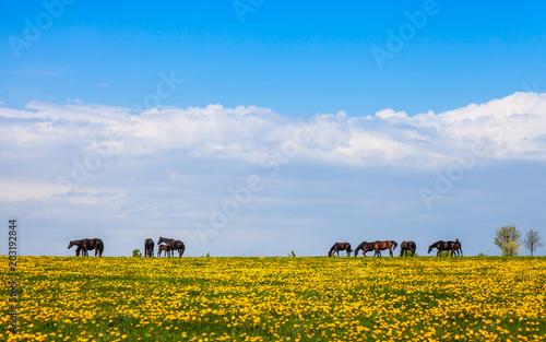 Fototapeta Pferde auf einer Weide, artgerechte Haltung in der Landwirtschaft