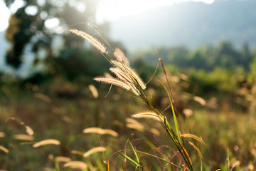 Seeds of grass in the glory of the sun. Cambodia Banlung province grass field.