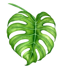 Monstera leaves painted with watercolor isolated on white background. Element for desugn.