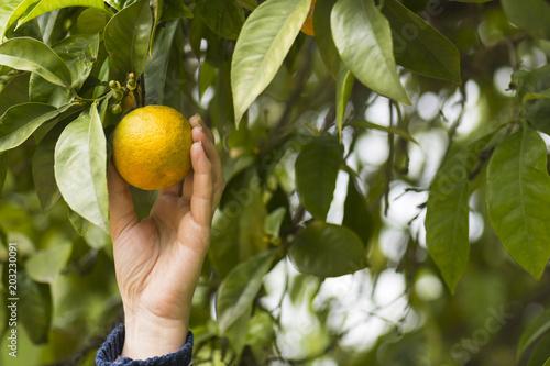 La mano de la persona recoge una naranja del árbol