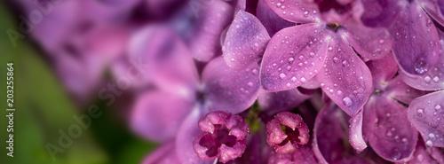 wiosenne kiście bzu kwiaty na gałęziach