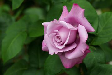 紫色のばら「ブルームーン」の花のアップ