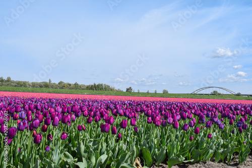 Plexiglas Tulpen Field of purple and pink tulips in holland