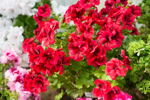 Fotobehang Azalea Red azalea flower blossoms or rhododendron tree all over the field, background