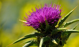 Closeup of beautiful milk thistle flower with yellow background, Silybum marianum