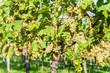 Quadro Ripe grapes in fall in Alsace, France
