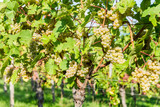 Ripe grapes in fall in Alsace, France - 203298653