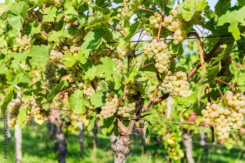 Fotobehang Wijngaard Ripe grapes in fall in Alsace, France