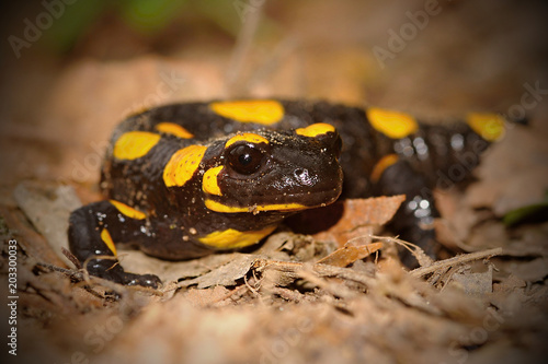 Plexiglas Kikker The fire salamander Salamandra salamandra is possibly the best-known salamander species in Europe. It is black with yellow spots or stripes
