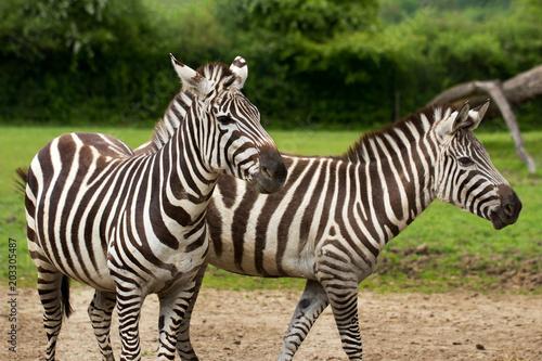 Fototapeta African striped coats zebras
