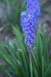Kwitnące niebieskie szafirki