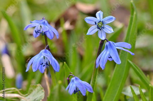 Fototapeta Beautiful blue snowdrops grow in the park in early spring